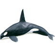 Orca Whale image